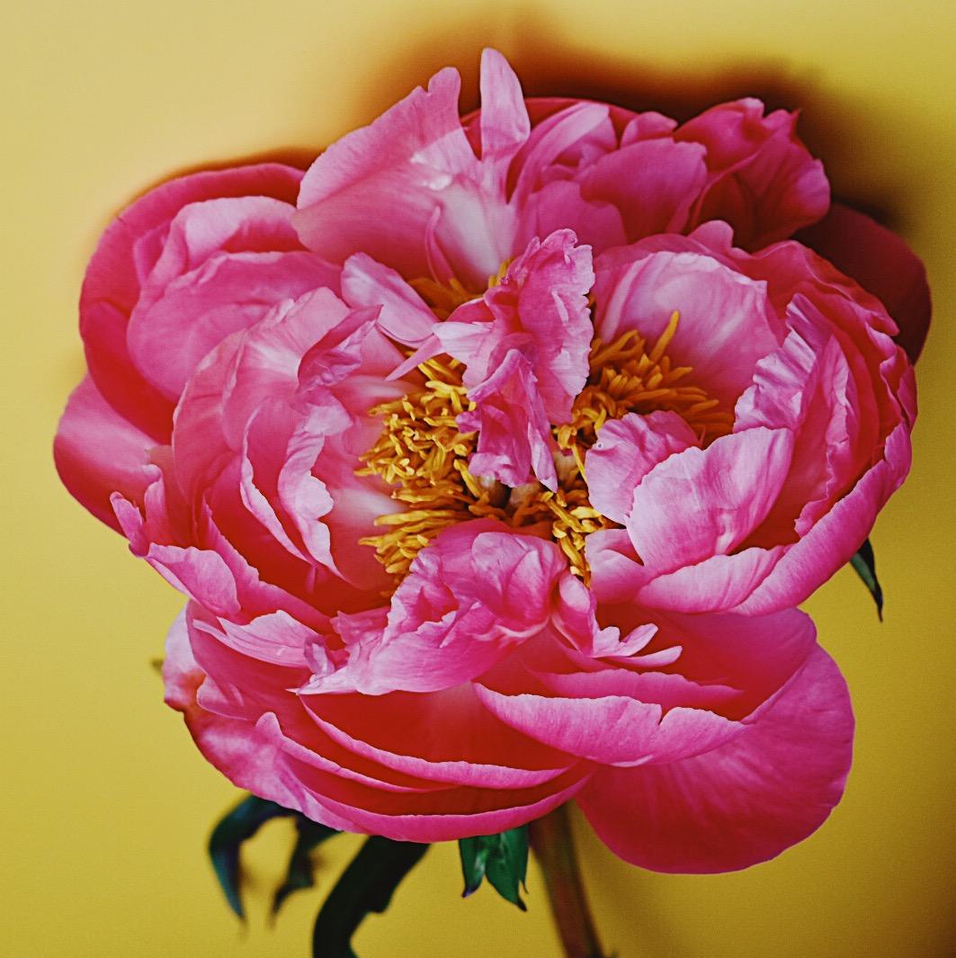 Pink peonies flower