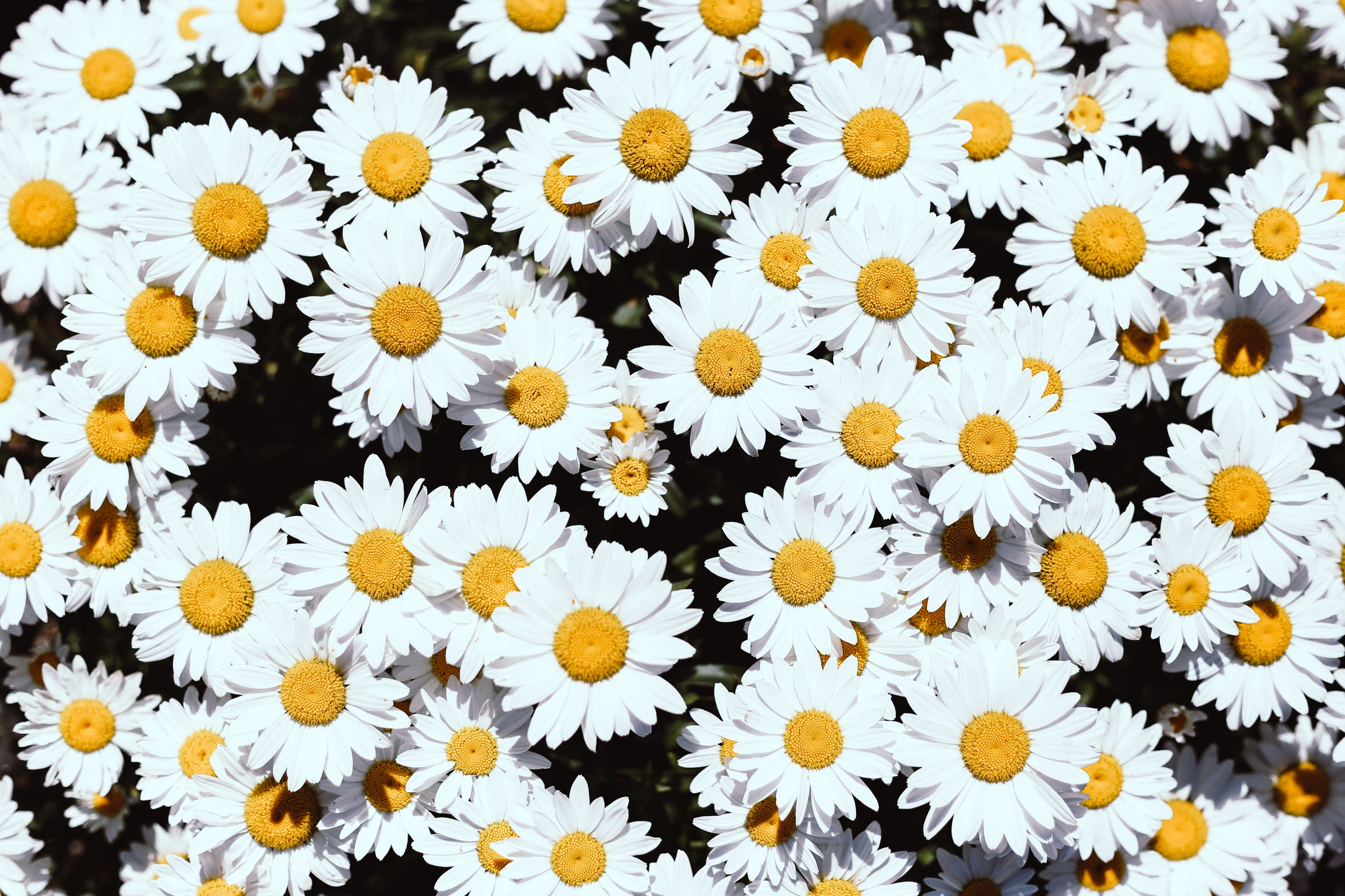 Daisy Meaning