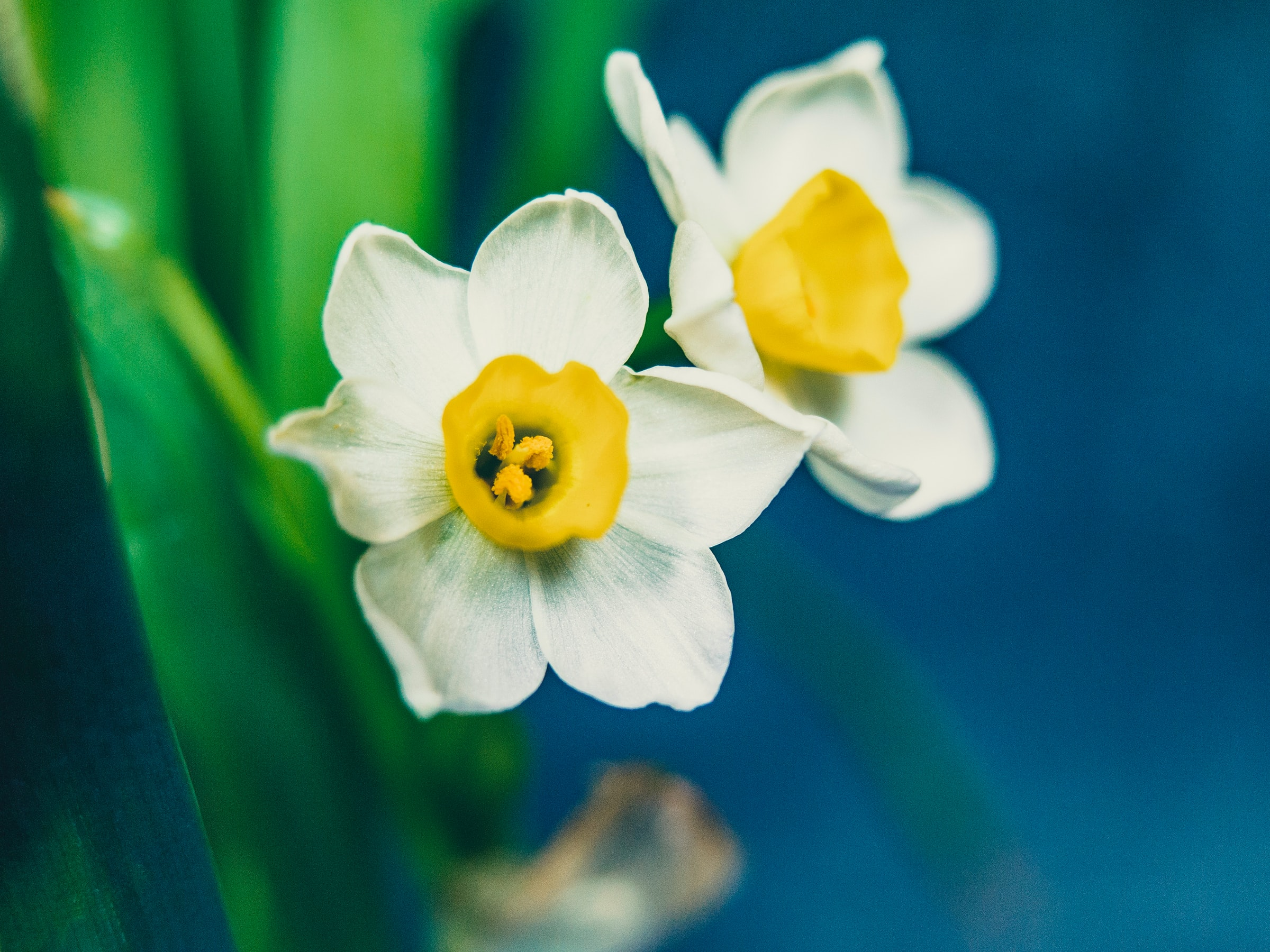 Daffodil Meaning
