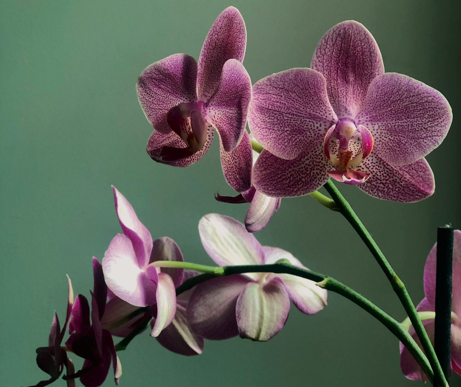 Orchid Meaning and Symbolism