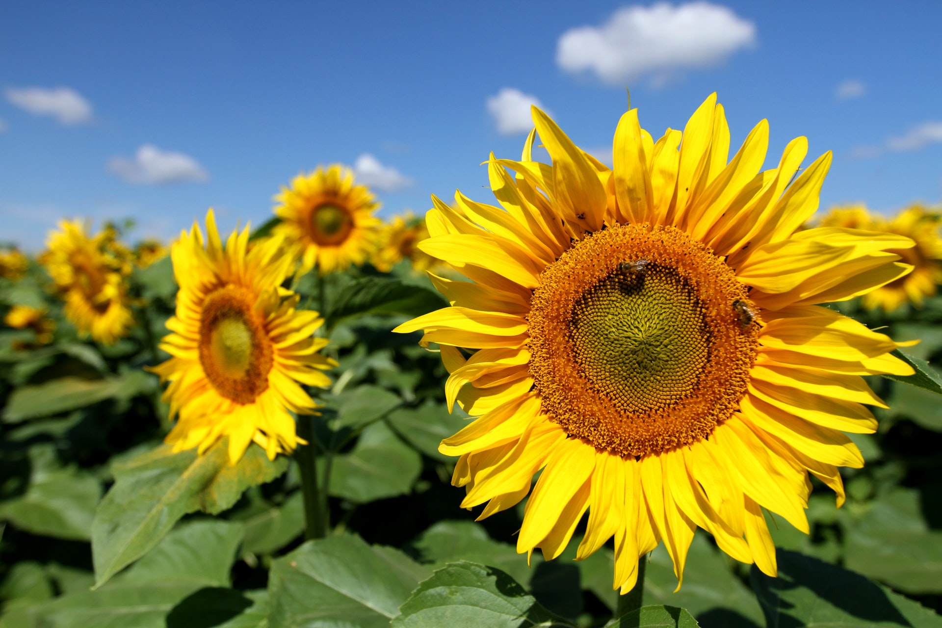 How to grow sunflowers in 4 steps