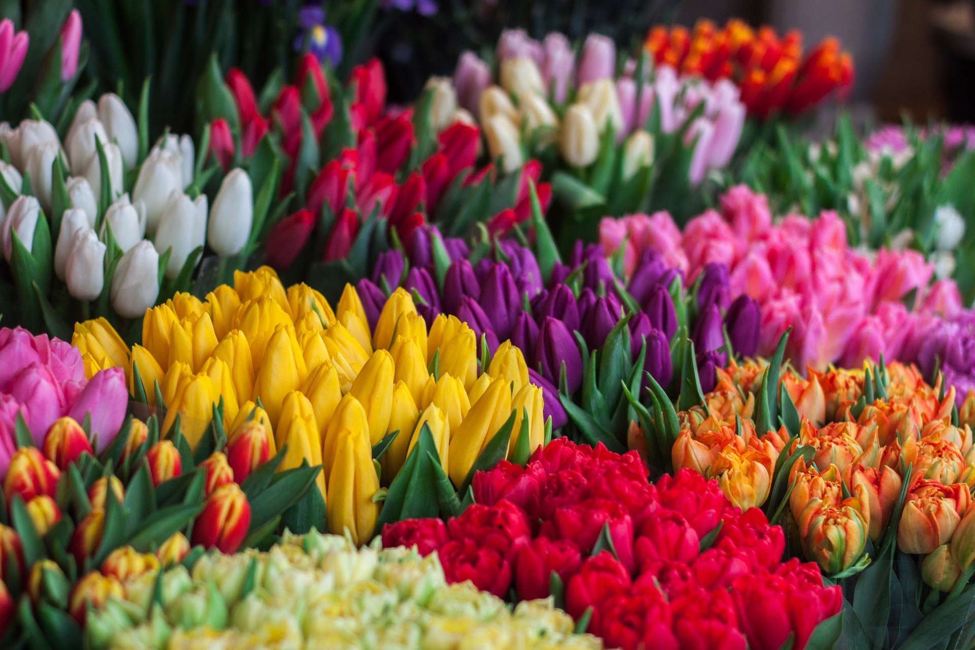 Meaning And Symbolism of Tulips